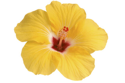 hibiscus-rosemallow - colture - Fertilgest