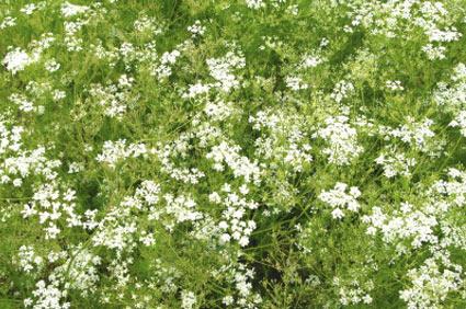 cumino - colture - Fertilgest