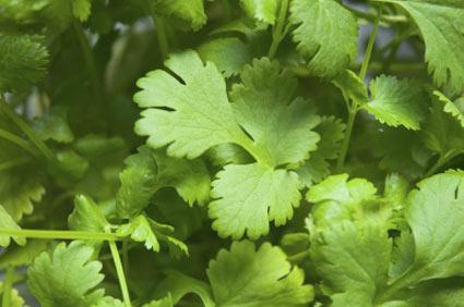 coriandolo - colture - Fertilgest