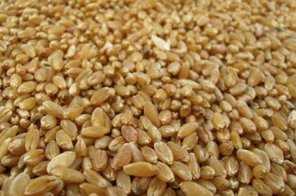 frumento-duro - colture - Fertilgest