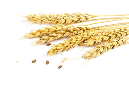 common-wheat - colture - Fertilgest