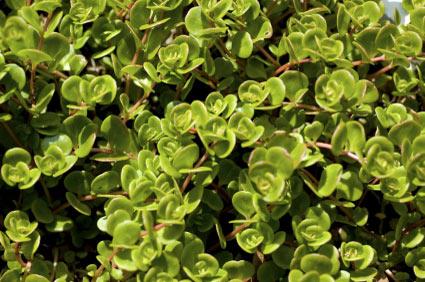 green-purslane - colture - Fertilgest