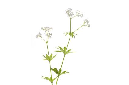 stellina-odorosa-o-asperula - colture - Fertilgest